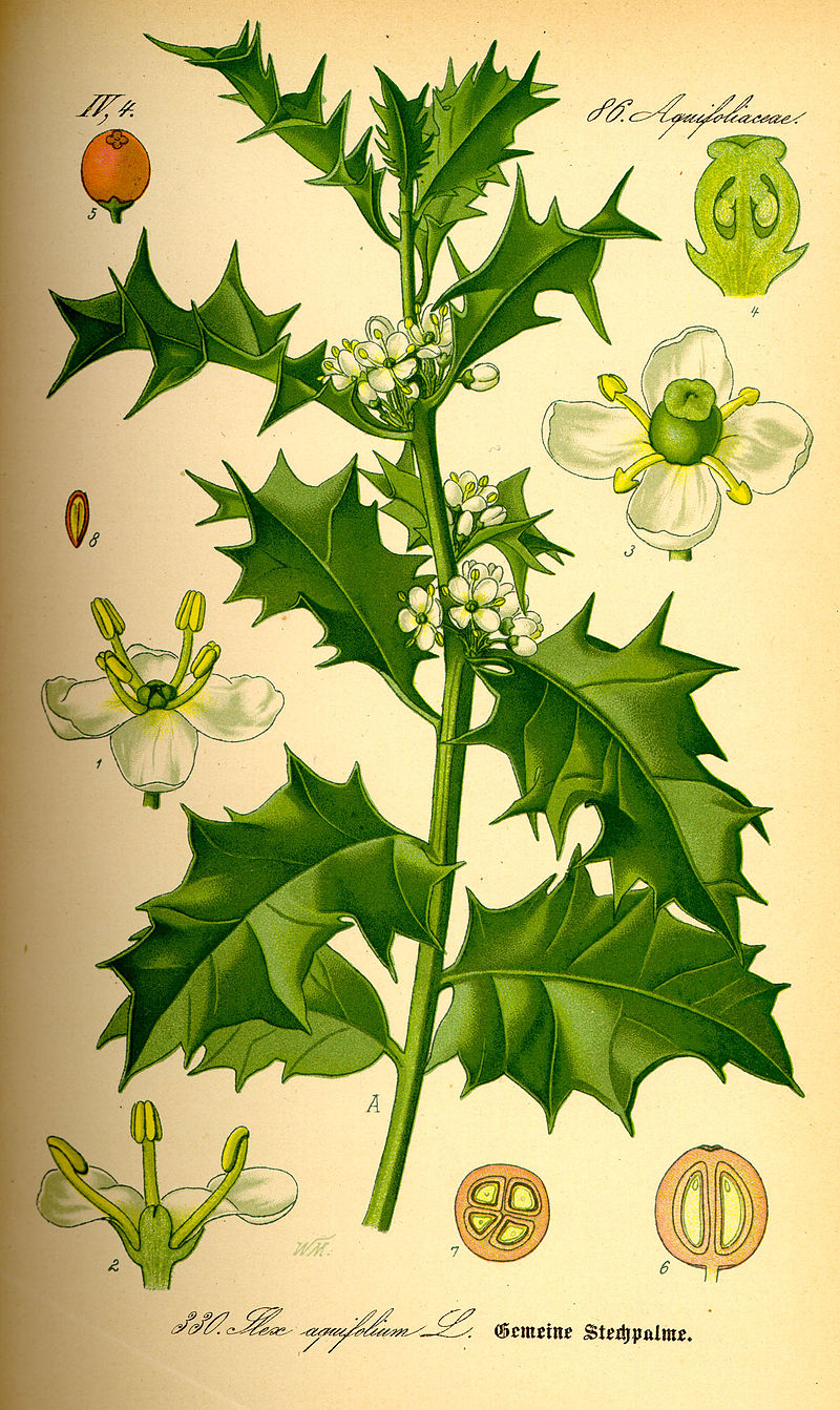 Holly via  wikipedia