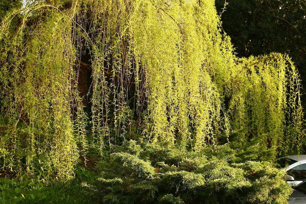 Willow Tree in England via wikipedia