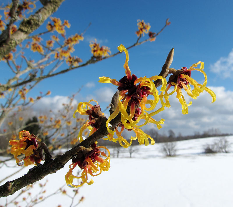 Witch Hazel via wikipedia