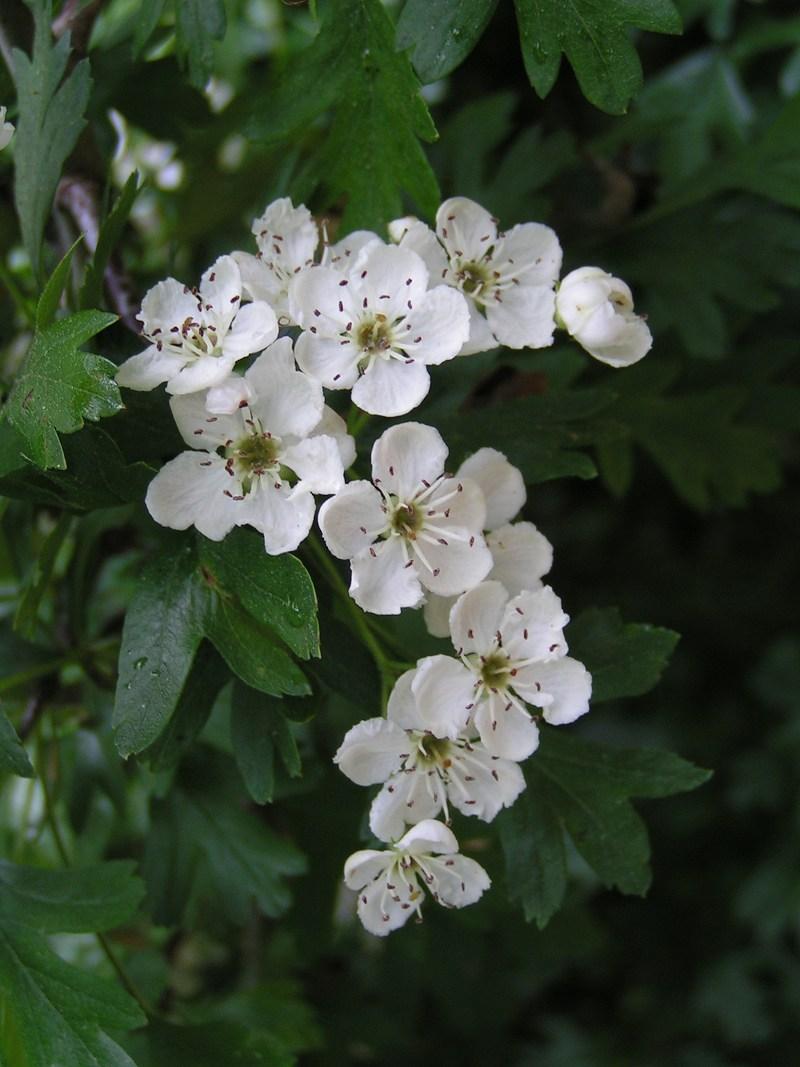 Hawthorn (Crataegus monogyna) via wikipedia