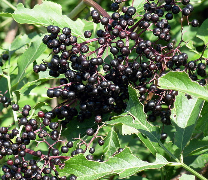 Elder Berries from  wikipedia.org