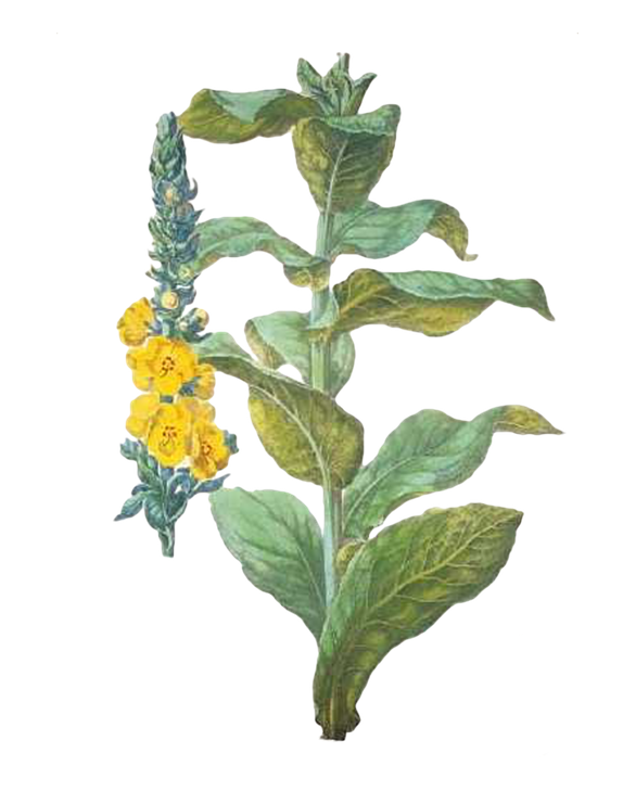 mullein for fire season