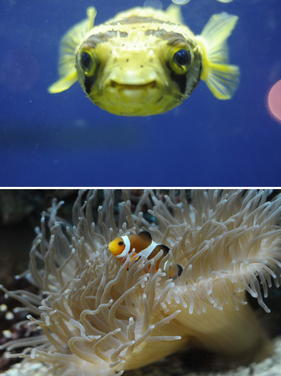 back at work today! over the short vaca, I took a suprisingly small amount of images… heres a pufferfish and a nemo…