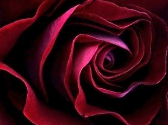 red rose dark.jpg