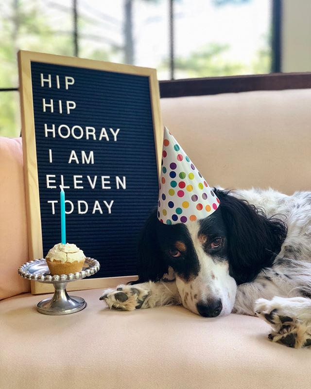 My sweet boy turns 11 today!! Patton, you bring me so much joy and I absolutely love being your mom! Happy Birthday, Patton! I love you more than you'll ever know!! 💙🎉 #patton #birthday #dogbirthday #englishsetter #dogsofinstagram