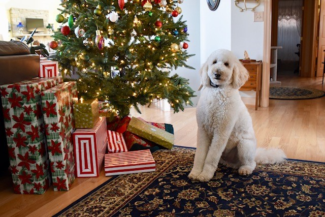 """Here is a Christmas picture of Teddy at 18 months. He is the love of our lives and the best dog we've ever had."" H.R."