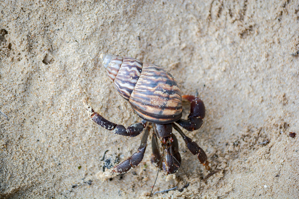 Hermit crab (1 of 1).jpg