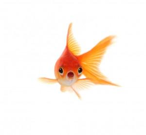 http://blog.triblive.com/thisjustin/wp-content/uploads/sites/23/2013/08/goldfish.jpg