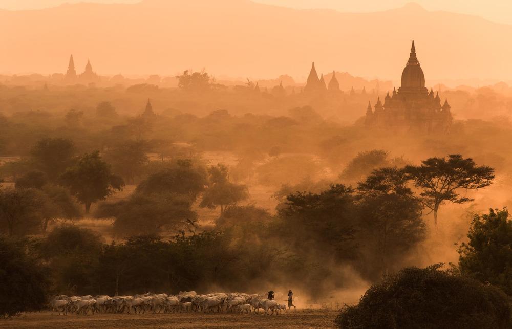 Cattle herders at sunset in Bagan. Myanmar
