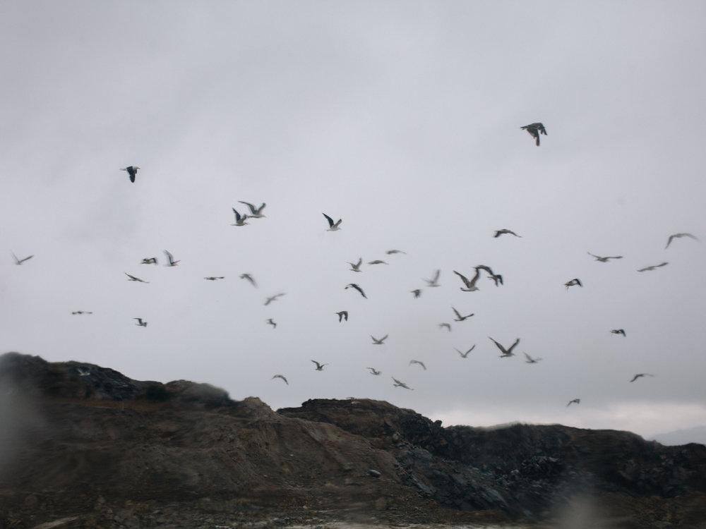 Flock of seagulls over Ushuaia's dump.
