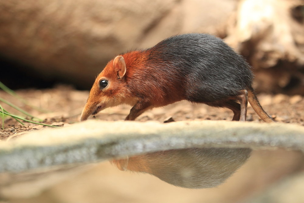 elephant_shrew_1_takims_holidays_small_little_five.jpg