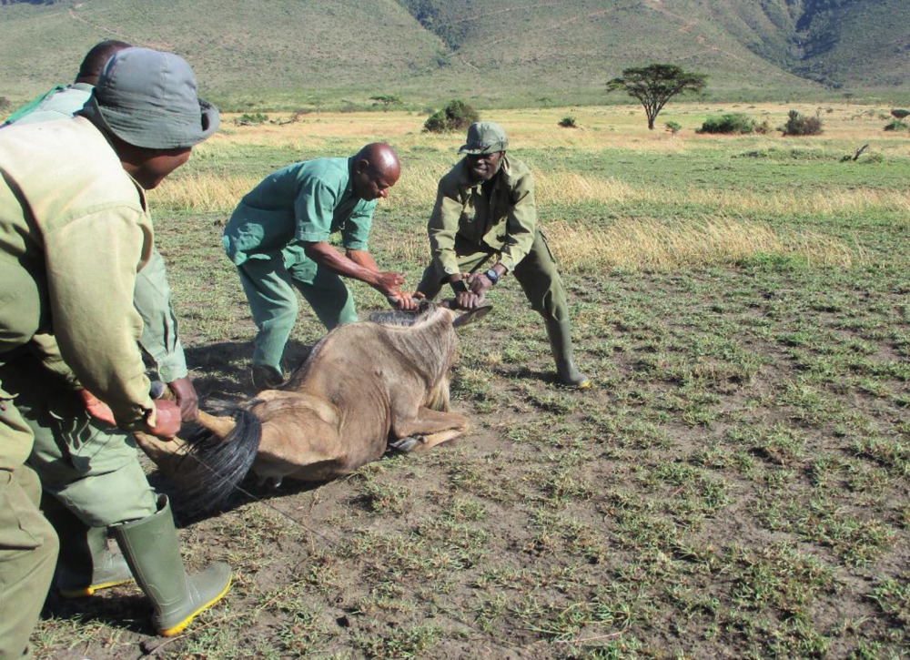 Releasing a rescued wildebeest alive. A dangerous job and requires careful teamwork
