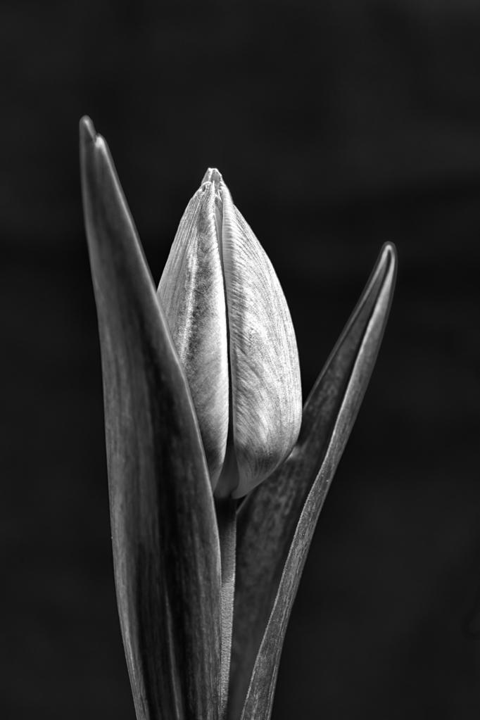 Tulip-III.jpg