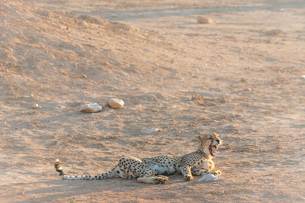 Cheetah yawning