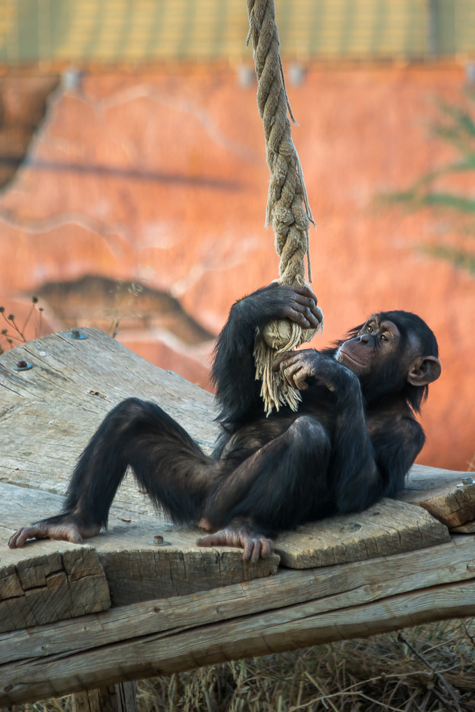 Chimp doing gymnastics II