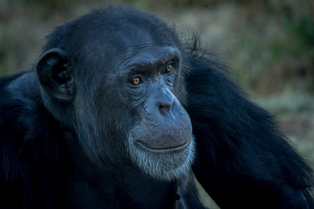 Chimp portrait