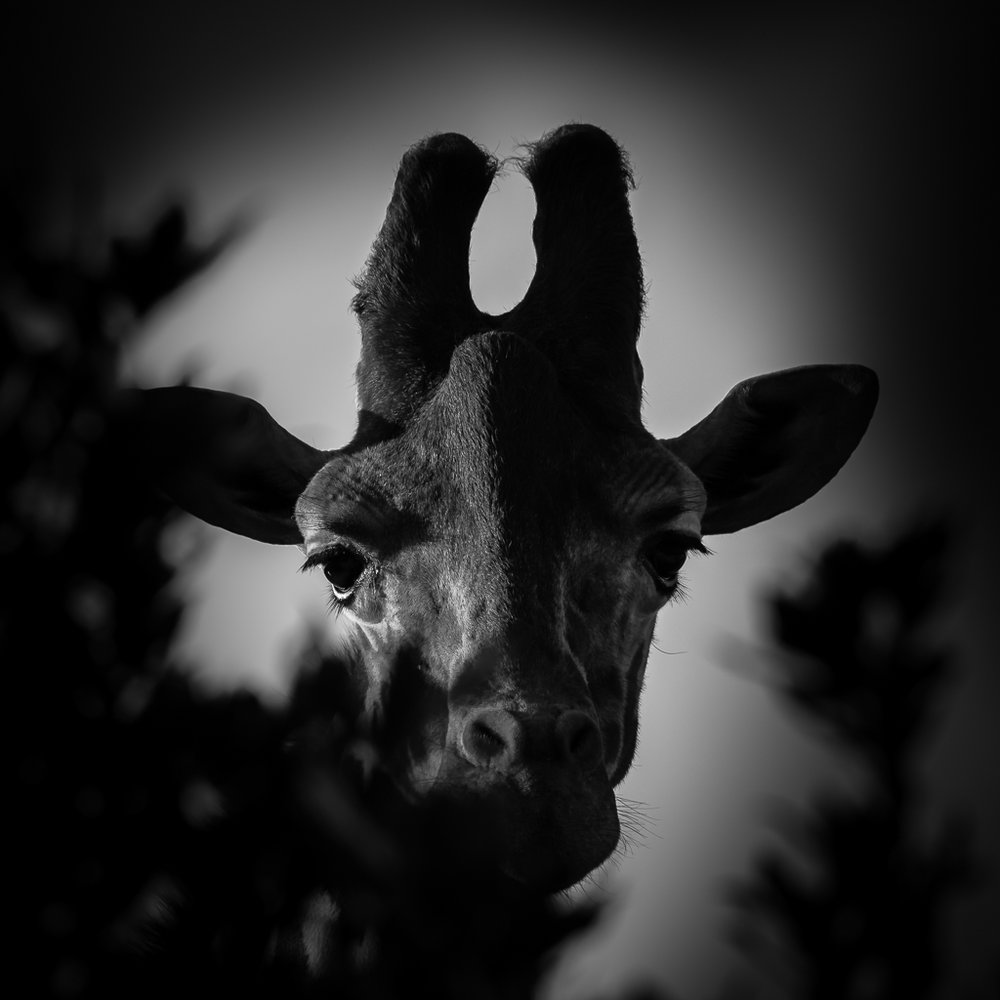 Giraffe in black and white