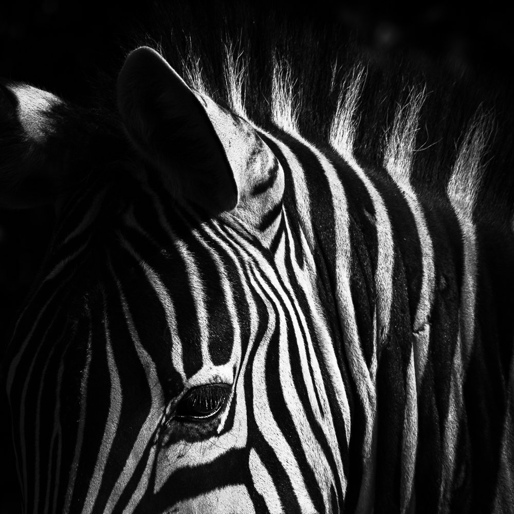 Zebra in black and white