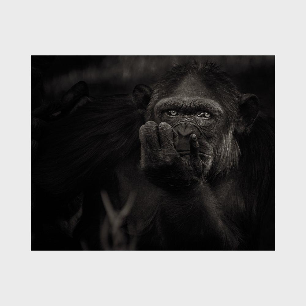 Chimpanzee-Award-01.jpg