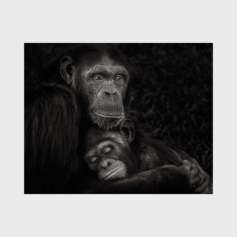 Chimpanzee-Award-02.jpg