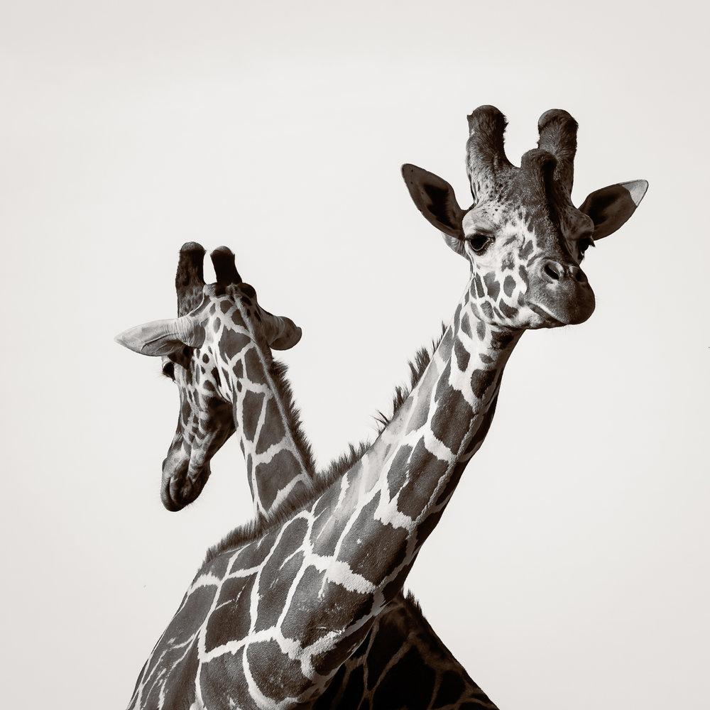 Giraffes IV.jpg