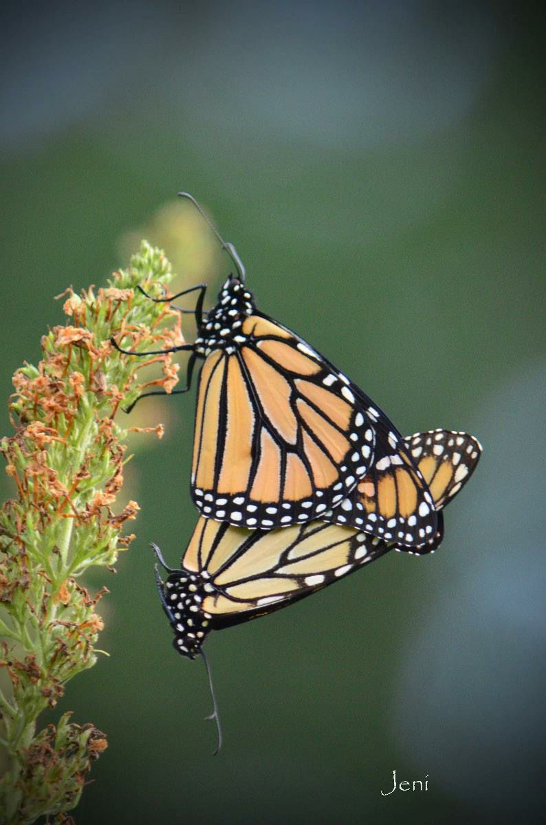 "One of many beautiful photos of monarch butterflies taken by Jenny Little Krantz.  Monarchs became a passion for Jenny. Every year she runs a ""monarch nursery"".  (c) Jenny Little Krantz, 2014."