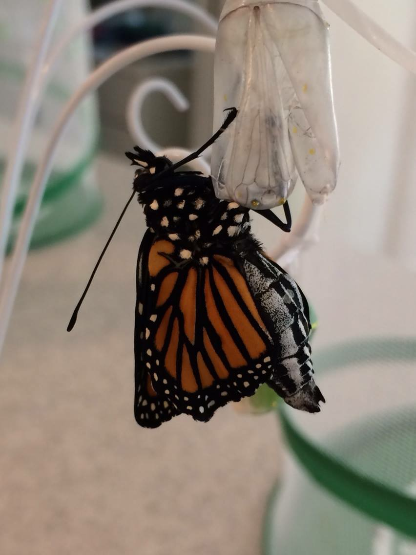 The monarch has emerged.  It will eventually be placed into the critter keeper, seen at the right. (c) Jenny Little Krantz, 2014.