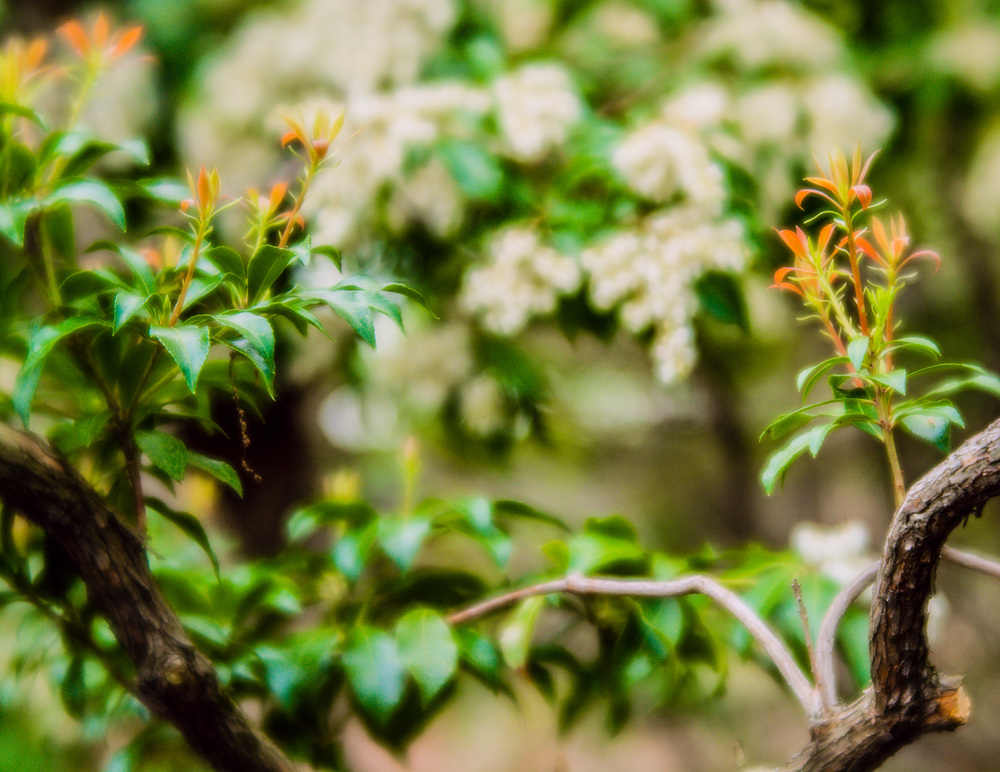 "New growth provides a frame and color contrast to the blossoms in the background.  Answering the question, what would my photography look like if I never compared my work to others? ""Orange and green"" (c) Rebecca LaChance, 2015, Emmitsburg, MD"