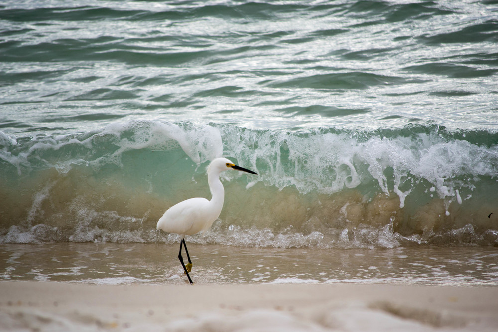 "The sea was rough on a story morning and the waves rolled in large and turbulent.  It just seemed this egret had no concerns about the rough waves. ""Brave egret"" (c) Rebecca LaChance, 2014, Panama City Beach, FL"