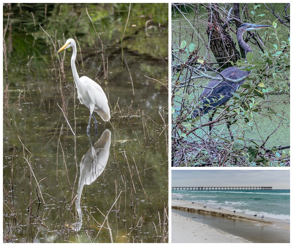 """The Wading White Reflection"" - I focused on clarity of the reflection in the water. ""Hiding Blue Heron"" was a surprise! ""Lining up"" (c) Rebecca LaChance, 2014, Panama City Beach, FL."