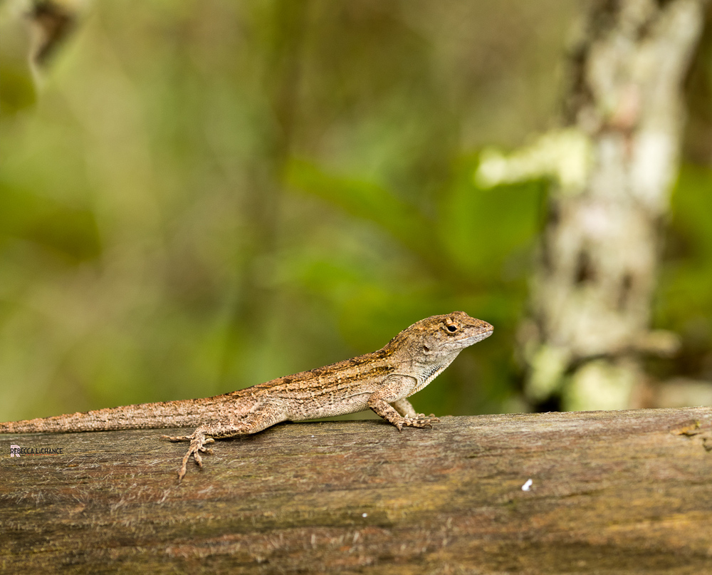 "This little guy was the only wildlife we saw in the conservation park.  It seemed all the critters had scampered for cover from all the rains.  ""Lizard Buddy"" (c) Rebecca LaChance, 2016, Panama City Beach, FL."