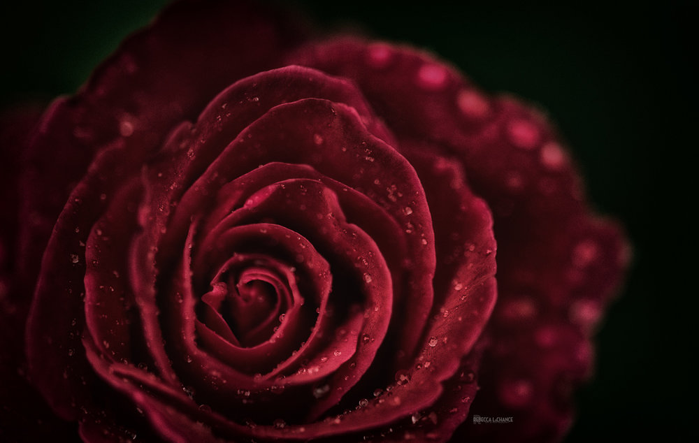 The Dark Rose . (c) Rebecca LaChance, 2016, Thurmont, MD.  from the Backyard Series.