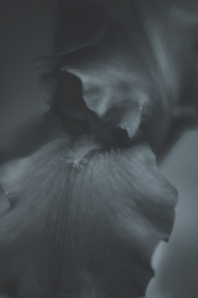 """Into the iris"" (c) Rebecca LaChance, 2015, Thurmont, MD.  One of several photos from the fine art series ""The Black Iris"".  The photos in the series are of a black iris and processed as black and white to highlight the structure, beauty and mystery of the flower."