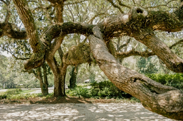 """The Miracle Tree"" (c) Rebecca LaChance, 2015. Point Washington, FL. The branches of the tree reached clear over the walk way and went underground and then broke through the ground at a different point. I wonder how old this tree is?"