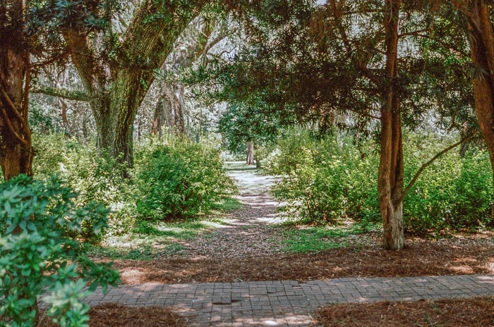 "The sun shone high and very bright.  Our eyes were so besieged by the light that everything seemed sharp and crystalline in our vision. ""Sun on the path"" (c) Rebecca LaChance, 2015. (film) Wesley Estate, Eden Gardens State Park, Point Washington, FL."