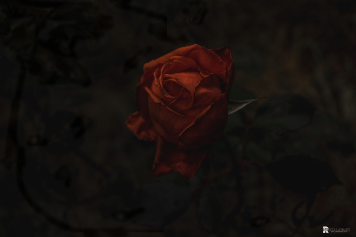"""What is it?"" she whispered.  ""The Darkest Rose"" (c) Rebecca LaChance, 2016, Thurmont. Md.  Experimental work for #52weeksofquiet."
