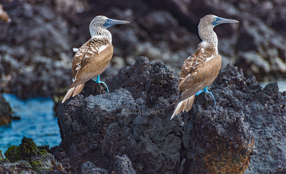 """Blue-footed boobies do exist!"" (c) Rebecca LaChance, 2017, Galapagos Islands, Ecuador.  Juvenile boobies are brown and don't gain their distinctivewhite heads and blue feet until they mature."