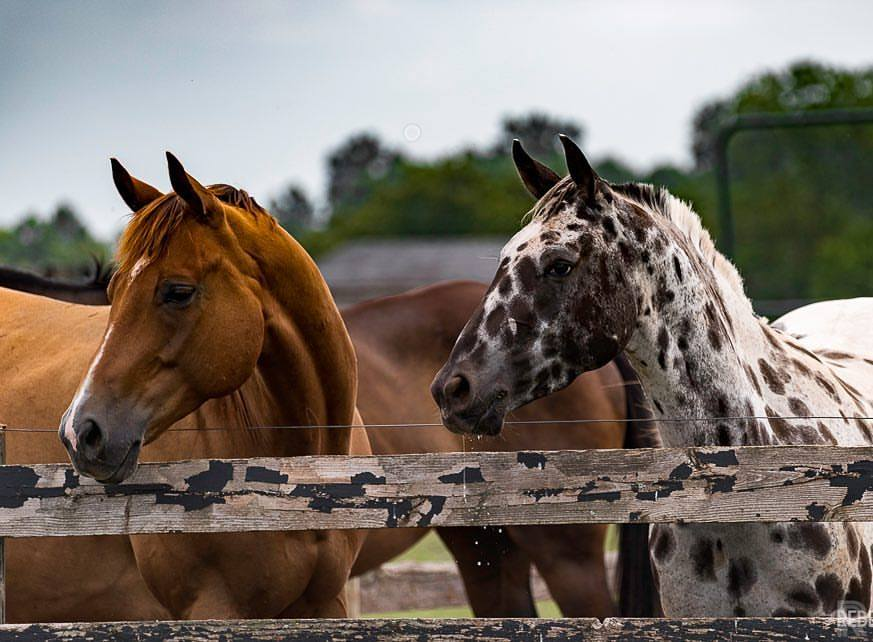 These beautiful horses are living in their forever homes with lots of space to roam, fresh water and crisp hay. They're healthy and curious now that they are safe.