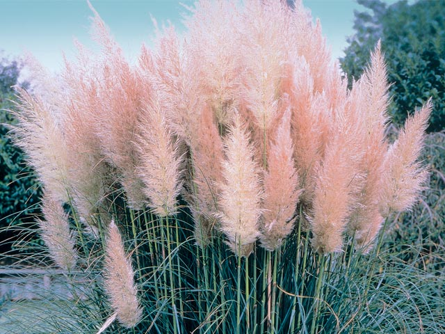 commovente: Pink Pampas
