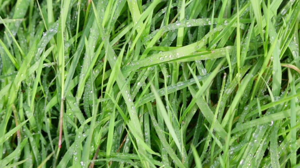 Les bêtes sont nourries exclusivement à l'herbe, toute l'année - La plupart des bêtes en France sont nourries au maïs et au soja, c'est plus rapide et plus simple : pas de prairies à entretenir, pas d'aléas climatiques ! Evidemment, la pauvreté d'une telle alimentation affecte énormément la qualité organoleptique de la viande. En élevant les bêtes en Bretagne, au pays où il fait tout le temps moche, on s'assure d'avoir de l'herbe verte, généreuse et pleine de nutriments toute l'année.