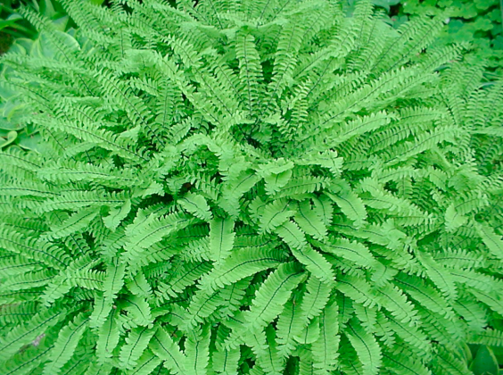 Maindenhair Fern