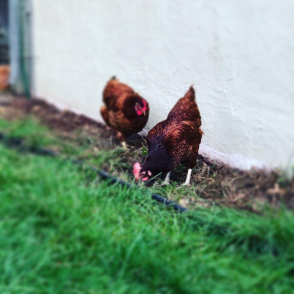 chickens-blur.JPG