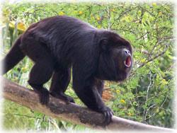 howler_monkey.jpg