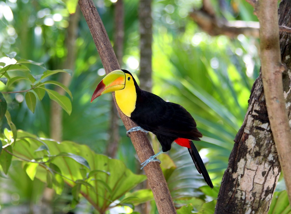 Keel_billed_Toucan.jpg