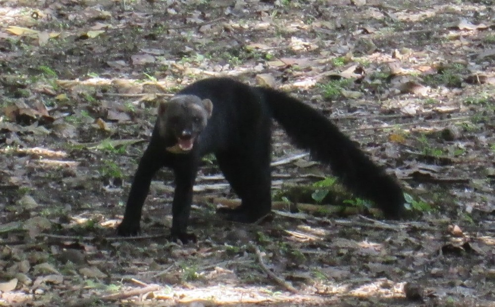 Tayra Bush Dog 2.JPG