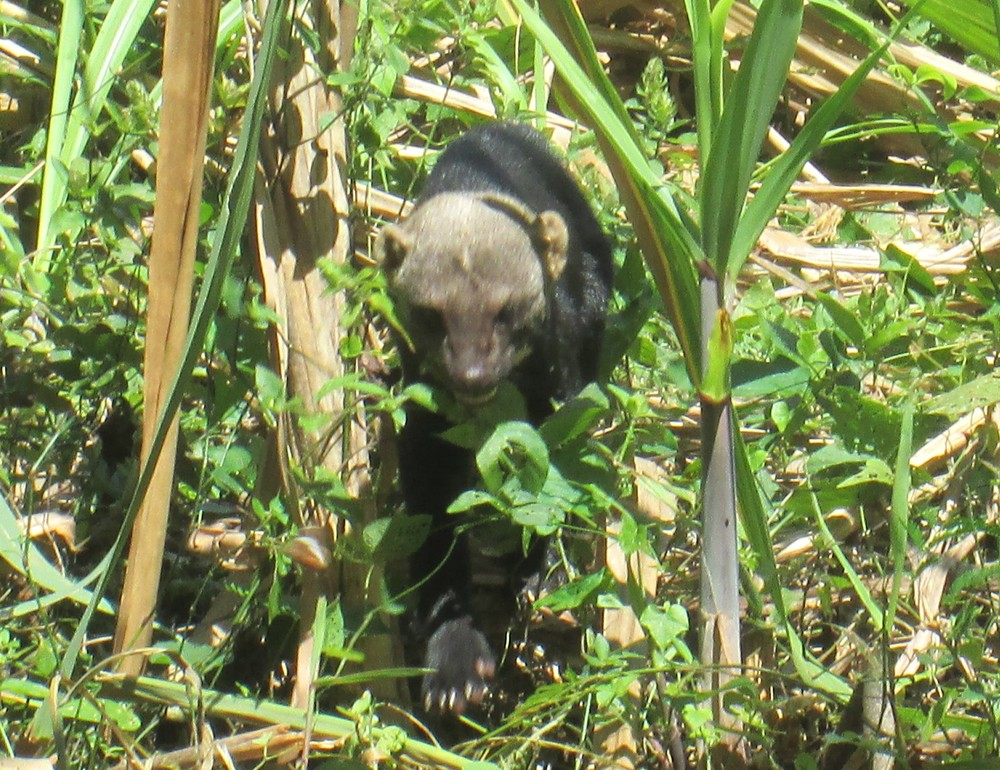 Tayra Bush Dog.JPG