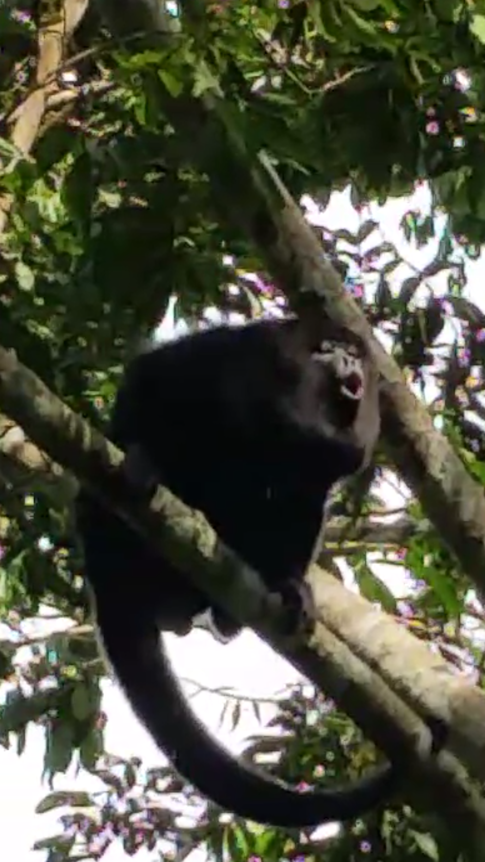 Howler Monkey.png