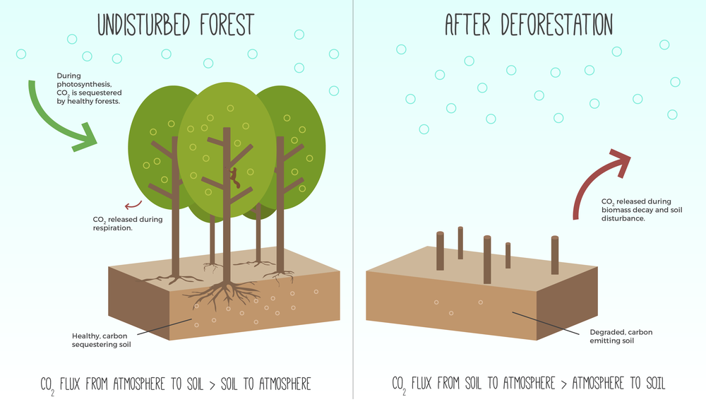 Healthy, undisturbed soils with dense biomass and root structures will slowly store carbon from the atmosphere in the soil (left). However, when that biomass is lost, soil is disturbed, and/or land is deforested, carbon stored in the soil is released back to the atmosphere (right).