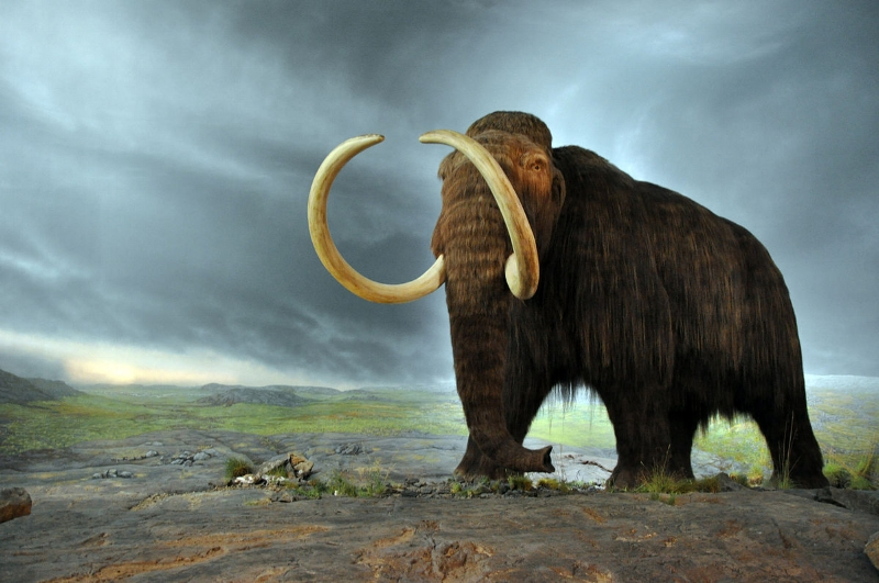 Mammoths were a key part of their namesake pre-historic ecosystem. Scientists at Harvard want to bring mammoths back as a species. The Zimov's simply want to restore their ecosystem, to help curb climate change. Image by Flying Puffin (MammutUploaded by FunkMonk) [CC BY-SA 2.0 (http://creativecommons.org/licenses/by-sa/2.0)], via Wikimedia Commons