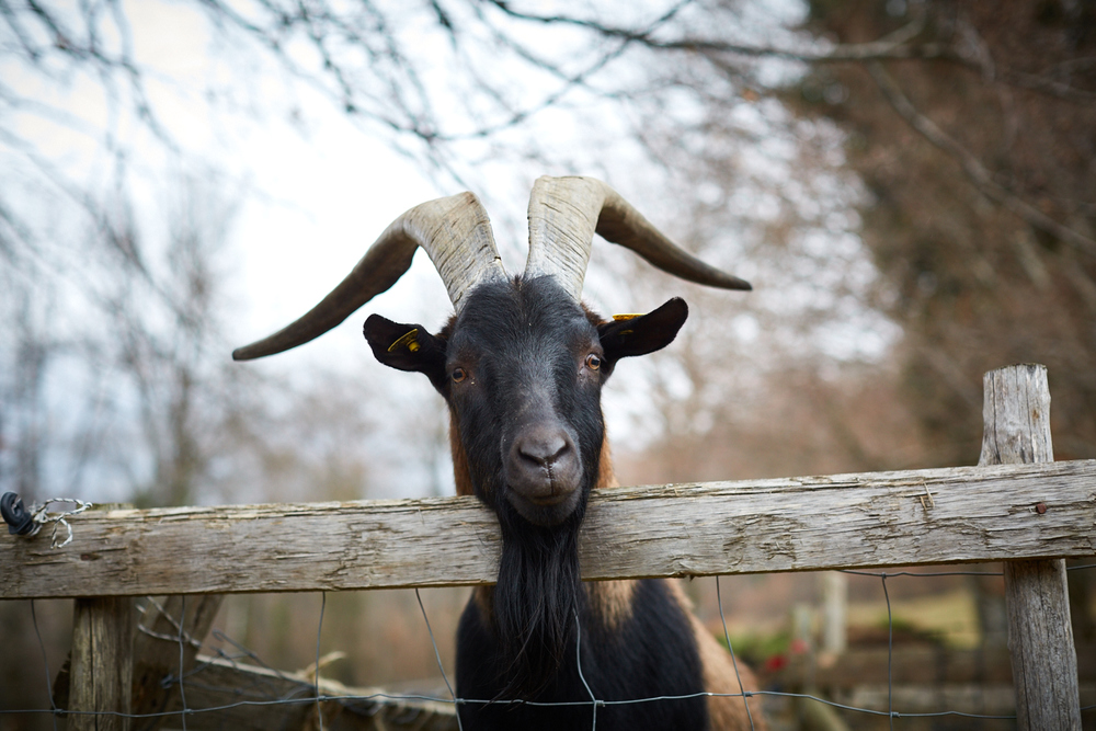 French Billy Goat